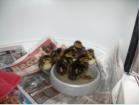 Lots of lost or orphaned ducklings come in every spring. They are at least easy to rear.